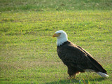 attentive bald eagle poster