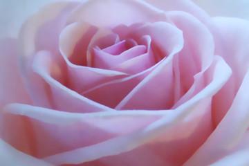 une rose rose!