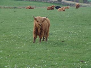 higland-cows, hochlandrinder