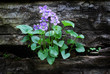 blue violets growing on a wall
