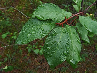 bush leaves after a rain