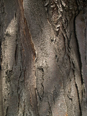 honey locust bark detail