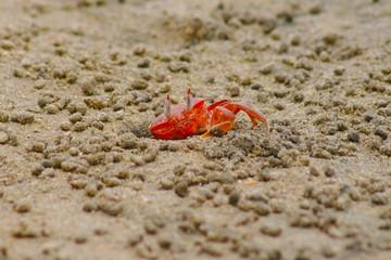 pacific crab