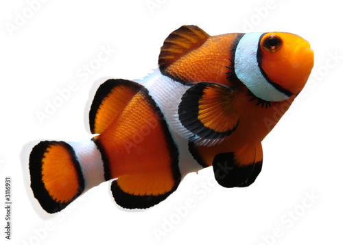 clownfish (isolated)