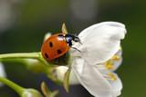 ladybug on white flower poster