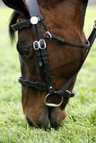 race horse grazing 01 poster