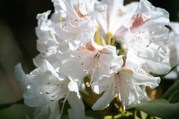 rhododendrum closeup
