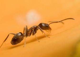 climbing ant