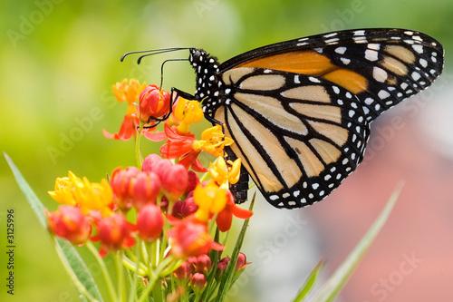 monarch butterfly feeding - 3125996