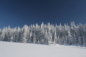 coniferous forest covered snow