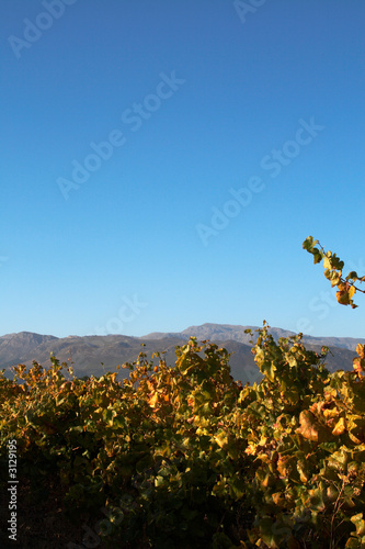 vineyard on boschendal wine farm in autumn