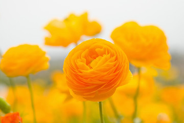asiatic ranunculus flowers