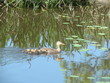 ducklings in the marsh grass