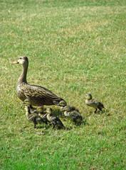 strolling duck family
