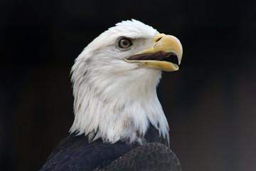eagle in profile