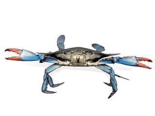 crab - blue crabs in fight pose