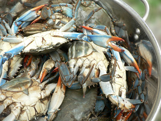 crab - blue crabs in pot