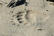big bear paw print