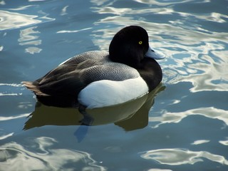 greater scaup duck