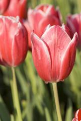 pink tulips close-up
