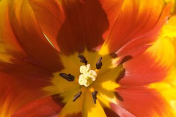 orange tulip colse-up