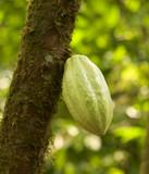 chocolate pod on tree poster
