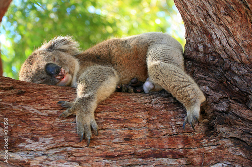 Fotobehang Koala australien_07_ 0150