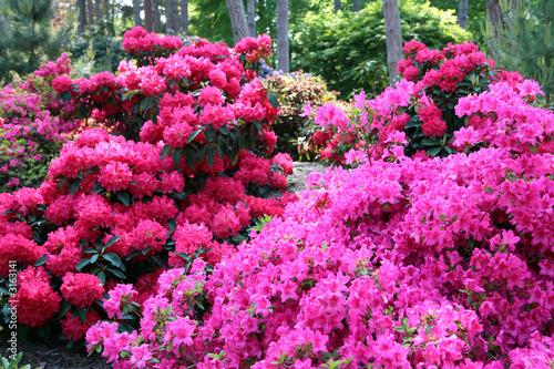Fotobehang Azalea rhododendron en sous bois