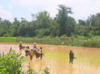 group of farmer women working in the ricefields for the harvest