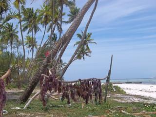 dry seaweed on a tropical beach, zanzibar, tanzania