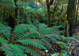 tree ferns and rainforest poster