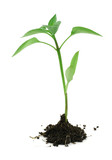 newborn plant with soil on white #2 poster