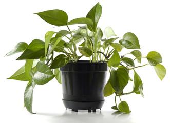 plant in pot