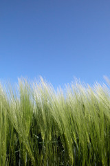 le champ de blé au ciel bleu