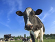 cow - 3183929