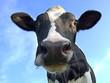 cow - 3183931