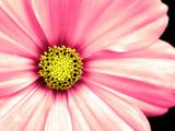 cosmo flower taken closeup poster