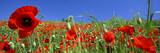 paysage de coquelicots - 3197914