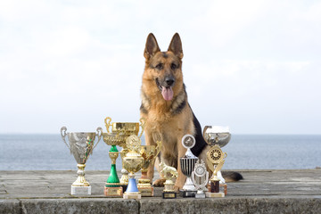 the sheep-dog with awards