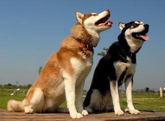 couple de huskys
