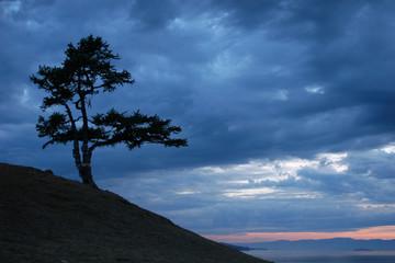 sacred larch tree at sunset