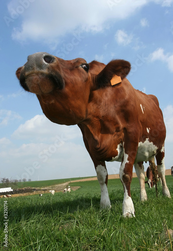 stretching cow