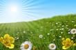 prairie paquerette bouton d'or soleil