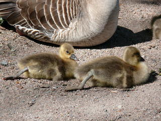 goslings stretching legs