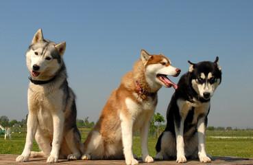 trio sibérien