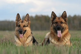 two german shepherds lay in a grass poster
