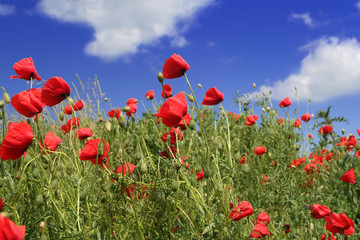 red poppies field over sky