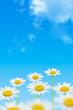 marguerites sur fond de ciel bleu