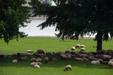 sheep in dusseldorf