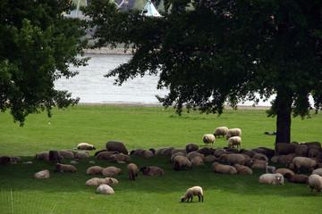 sheep in dusseldorf